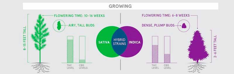 Physical difference of marijuana strain plants graphic