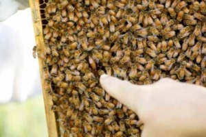 Photo of a finger pointing at the queenbee among all the other bees.