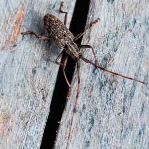 Timber-Decay-Longhorm-Beetle