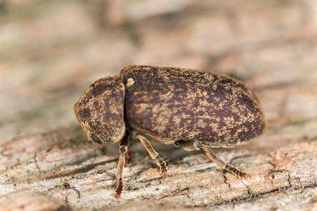 Timber-Decay-Death-Watch-Beetle