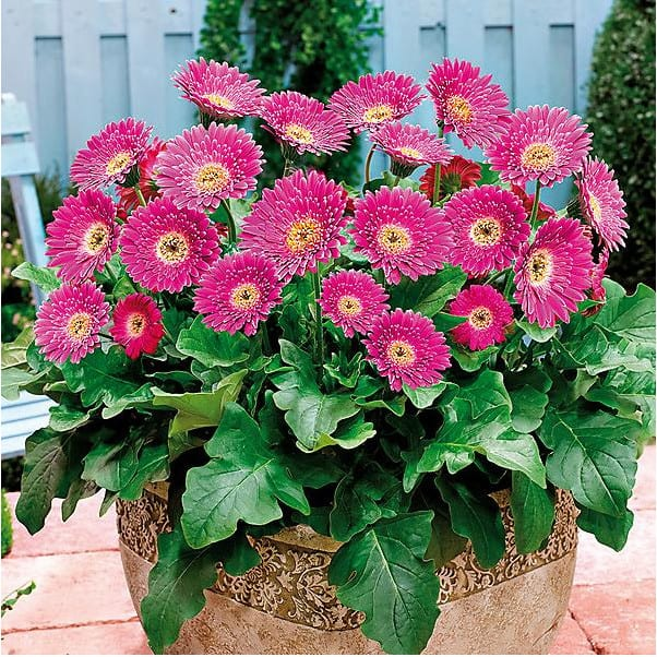Barberton daisy plant naturally relieve stress and purify the air