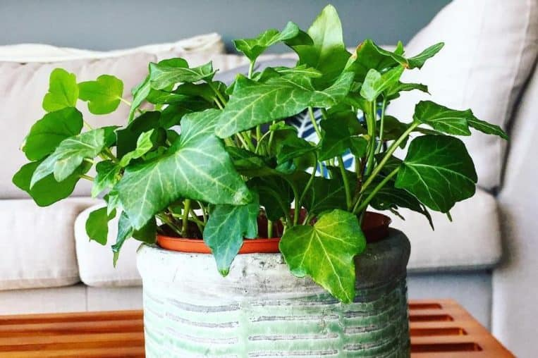 Houseplants That Relieves Stress And Purifies The Air