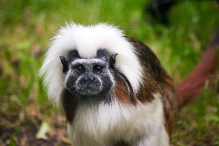 Cotton Top Tamarin animals with glorious hairstyles gifted by nature