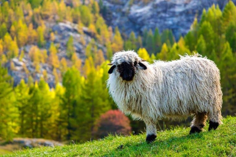 Valais sheep with glorious hairstyles gifted by nature