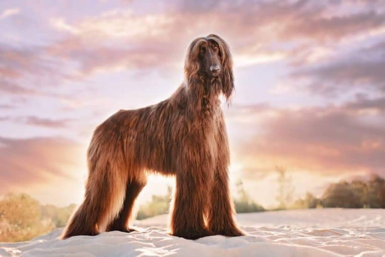 Most Expensive Dogs in the World
