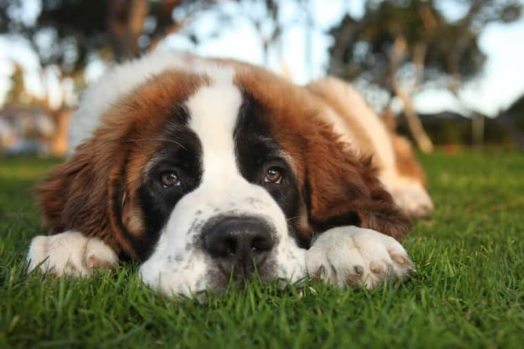 Most costly dog in the world