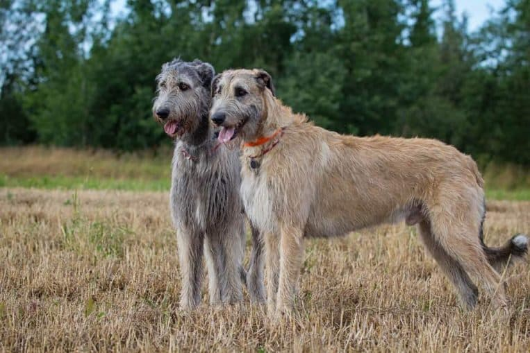 Most costly dog breeds