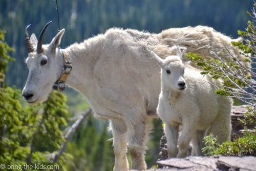 mountain goat mom and baby