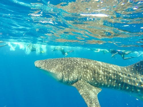 whale shark maldives with teens