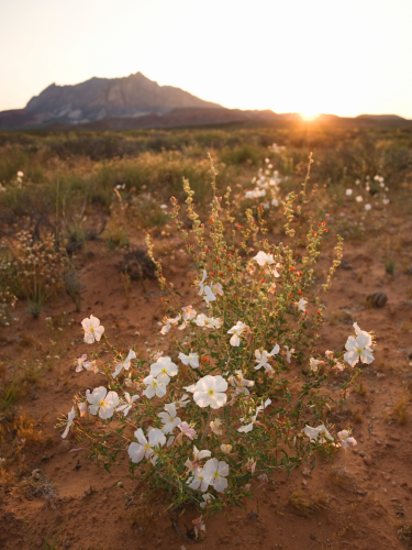 Guadalupe mountains flowers