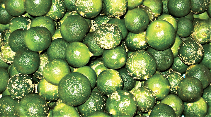 Health Benefits Of Calamansi