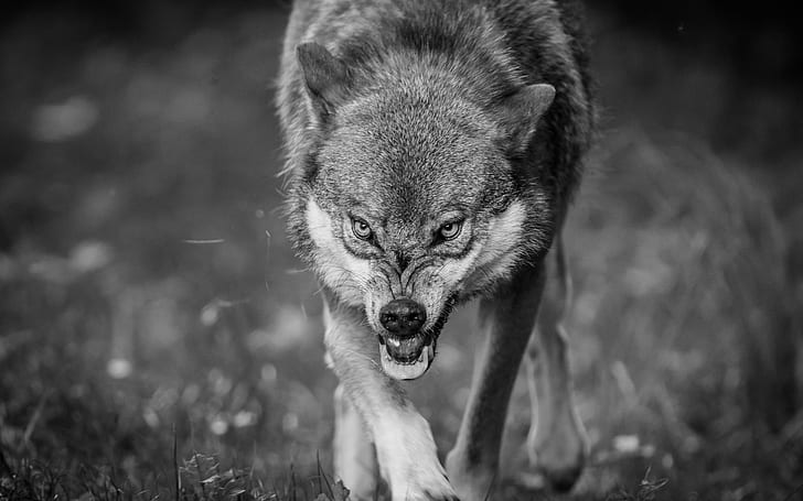 Angry Black And White Wolf Wallpaper