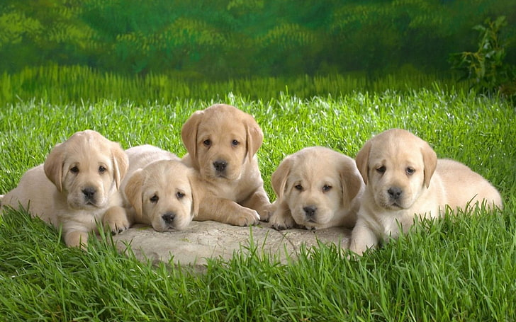Cute Wallpaper Summer Golden Retriever Puppy Pictures