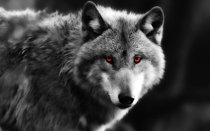 Black Wolf With Red Eyes Wallpaper
