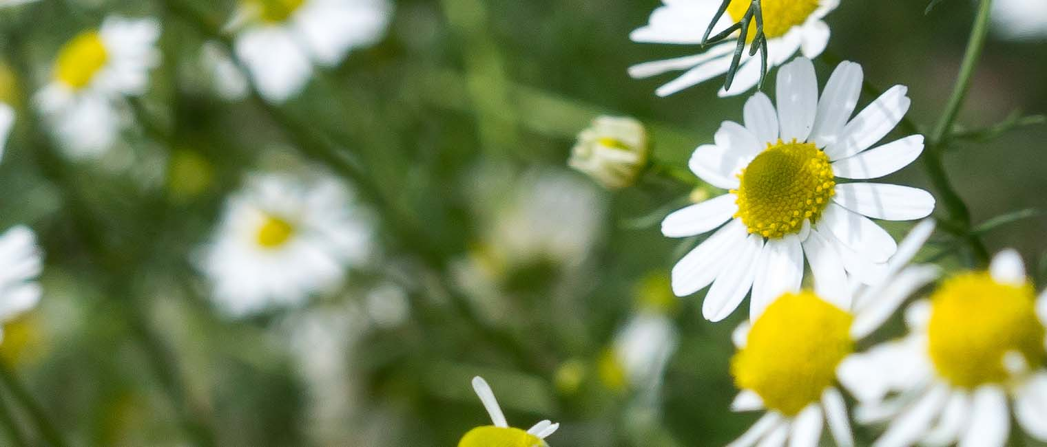 German chamomile is a potent antioxidant