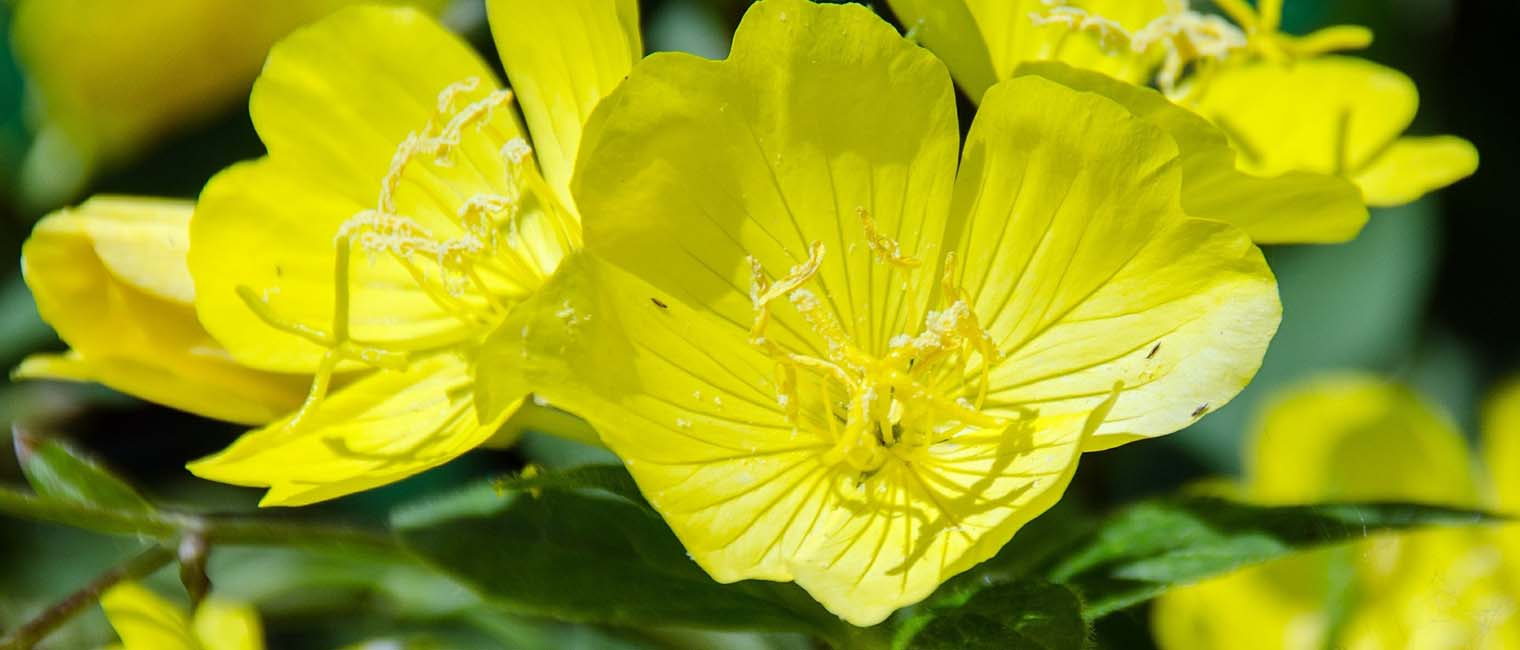 Evening primrose is effective in strengthening the skin's barriers and reducing trans-epidermal water loss.
