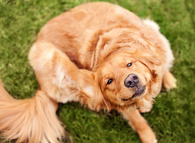 Essential Oils For Fleas In The House 1