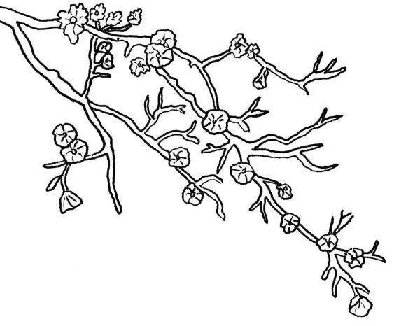 Cherry Blossom Coloring Page - Coloring Page Base