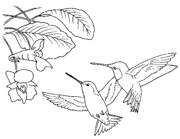 cool coloring page hummingbird printable