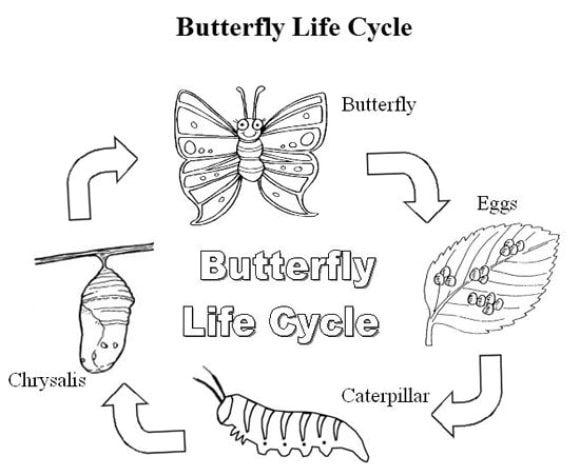 beautiful butterfly life cycle coloring page