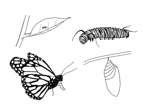 inspirational butterfly life cycle coloring page