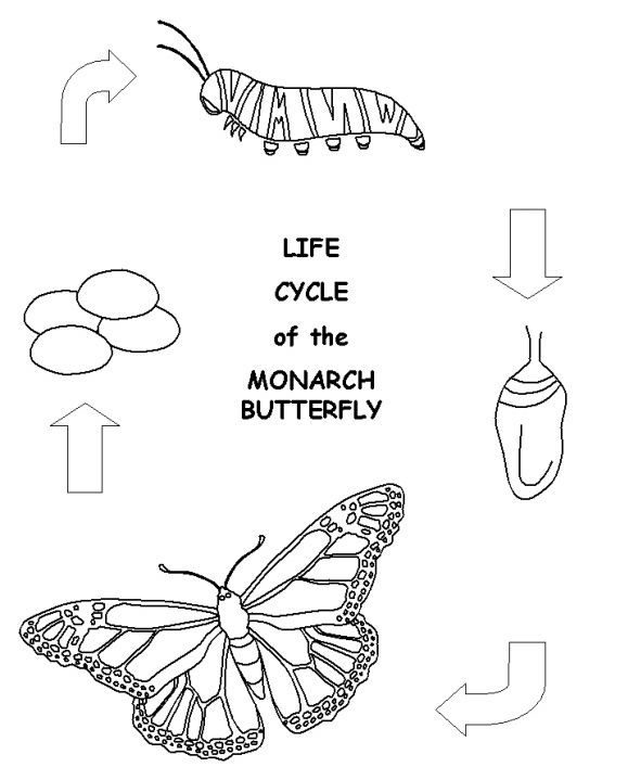 luxury butterfly life cycle coloring page