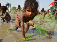 Bathinda, India - June 12 –KB-1Children working as labourer in the paddy fields near Gobindpura village of Bathinda district on Tuesday while the World Child Labour day was being observed in country June 12, 2012 Photo By  Kulbir Beera /Hindustan Times
