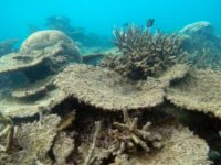 Dead table corals killed by bleaching on Zenith Reef, on the Northern Great Barrier Reef, November 2016. (Photo: Greg Torda/ARC Centre of Excellence for Coral Reef Studies)