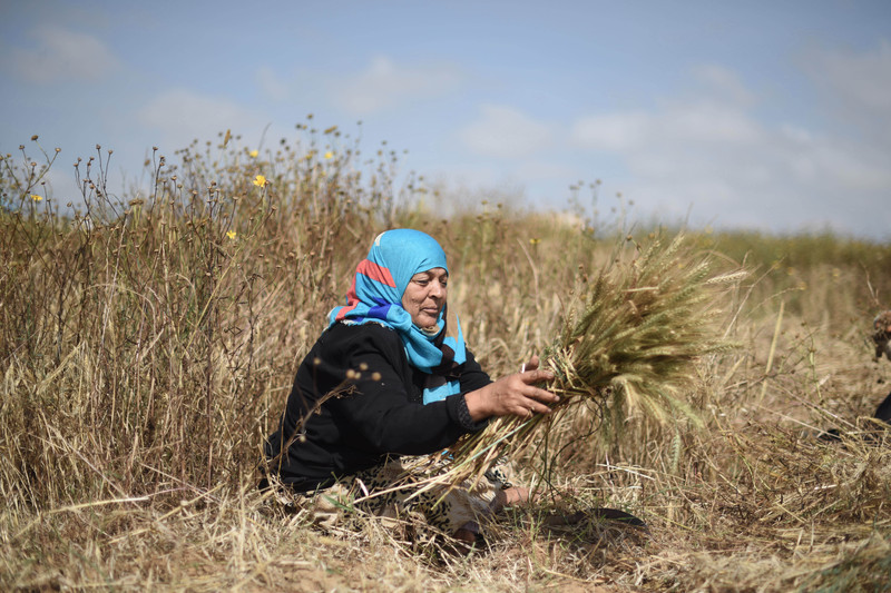 Siham Abu Rashid's family depends on the income from harvesting herbs in Gaza's dangerous no-go zone. Abed Zagout