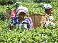 Women labourers plucking tea leaves at a plantation in Udalguri of Assam.