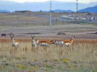 Nervous now, future worse: pronghorn antelope at the edge of a growing economy. (Photo Credit: Michael Shealy)