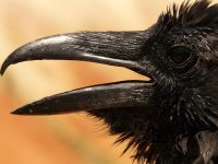 The Cawing of the Crow