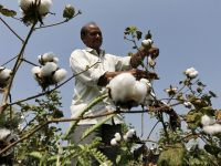 Pushing GMO Crops Into India: Experts Debunk High-Level Claims of Bt Cotton Success