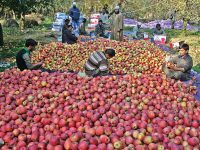 Apple growers of Kashmir: Plight of surmounting Debt and commissions