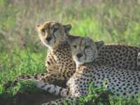 Introducing The African Cheetah In India: A Risk Worth Taking?