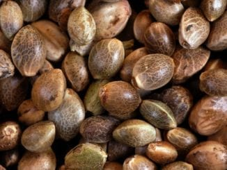 where to find cannabis seeds