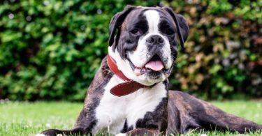 Best Dog Food For American Bully