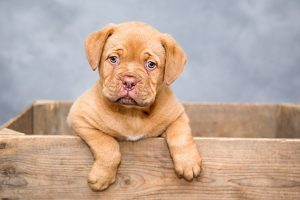 What to feed a Pitbull puppy to get big