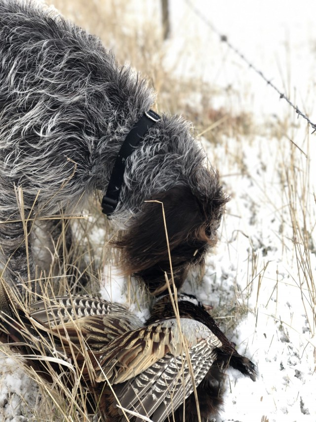 Wirehaired Pointing Griffon sniffing downed pheasant