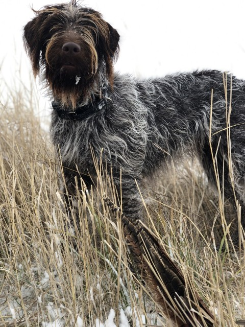 Mocha hunting pheasants 4 - Griffons Out West - Wirehaired Pointing Griffons in Montana