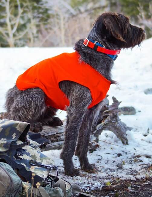 Rocco orange vest - Wirehair pointing griffon puppies in Montana - Griffons Out West - Wirehaired Pointing Griffons in Montana