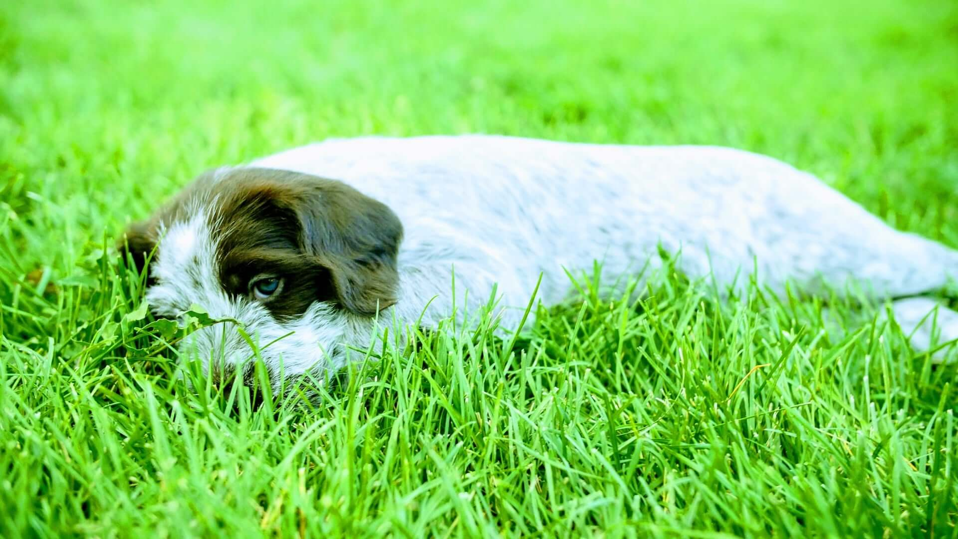 Female griffon laying in grass