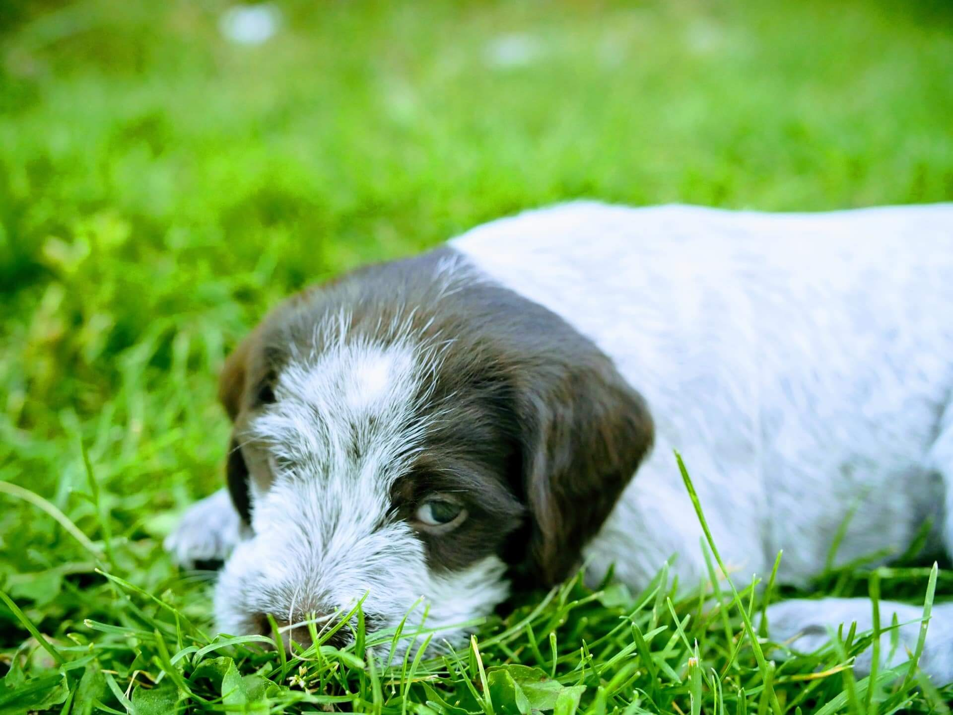 Female griffon puppy front view