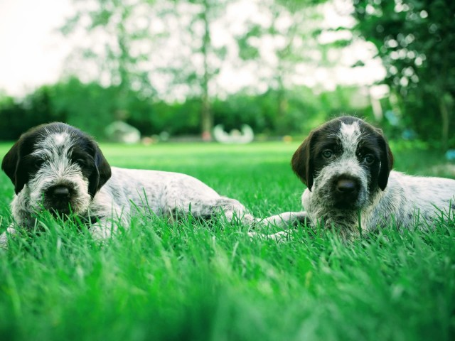 Two Wirehaired Pointing Griffon puppies sitting in grass