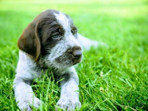 Wirehaired Griffon puppy in grass
