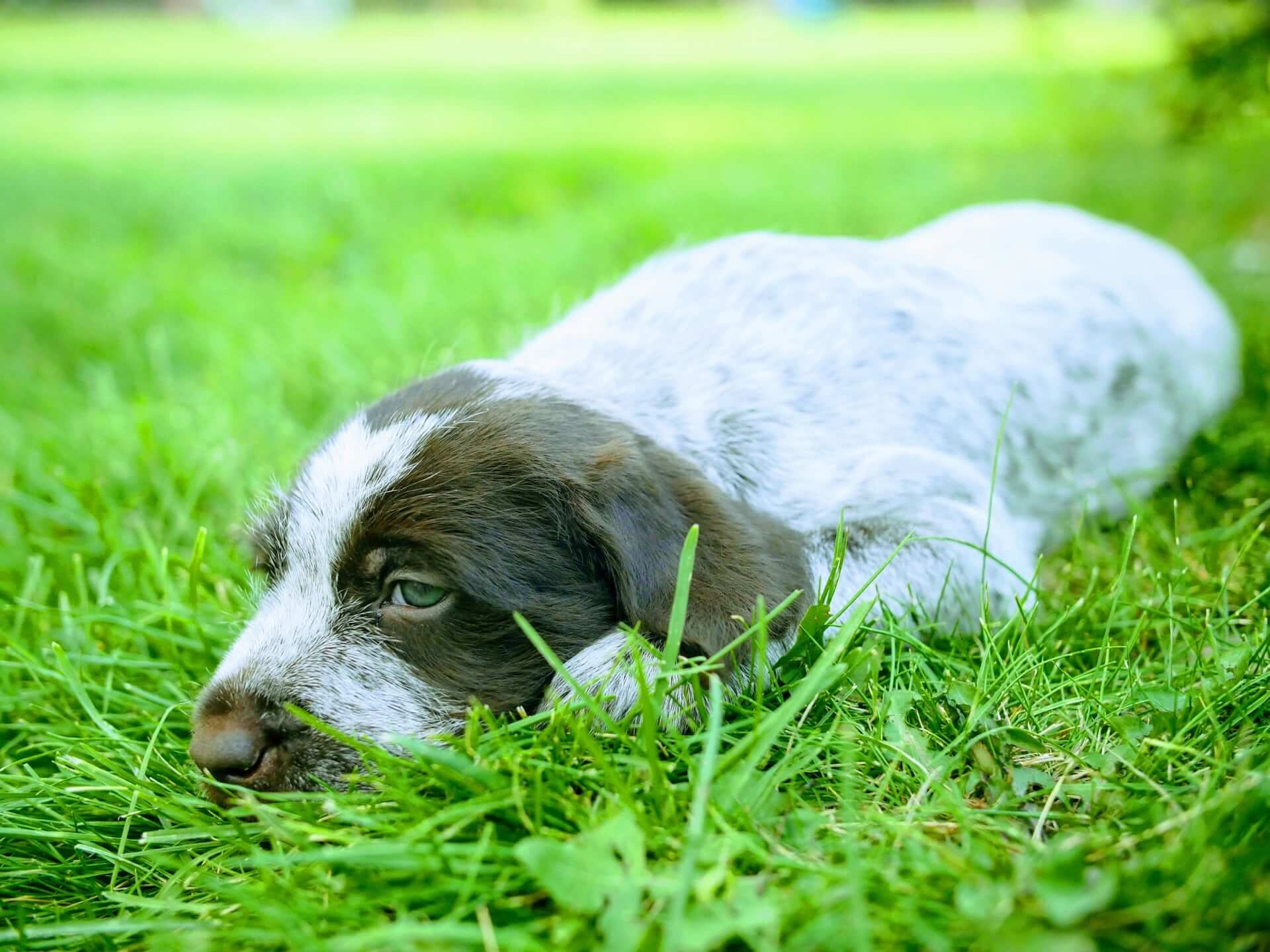 Male griffon puppy laying in grass