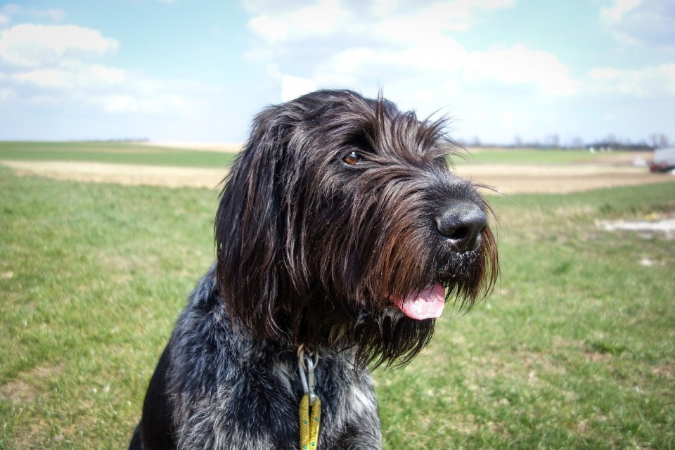 Wirehaired Pointing Griffon hunting