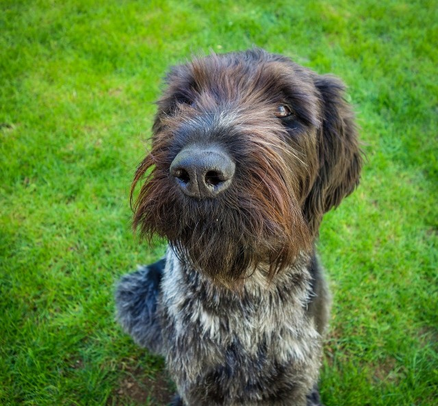 Wirehaired Pointing Griffon sitting at attention