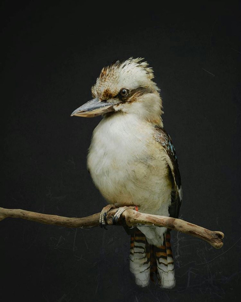 This Kookaburra is not actually alive, but that'd be hard to say from looking at this picture.