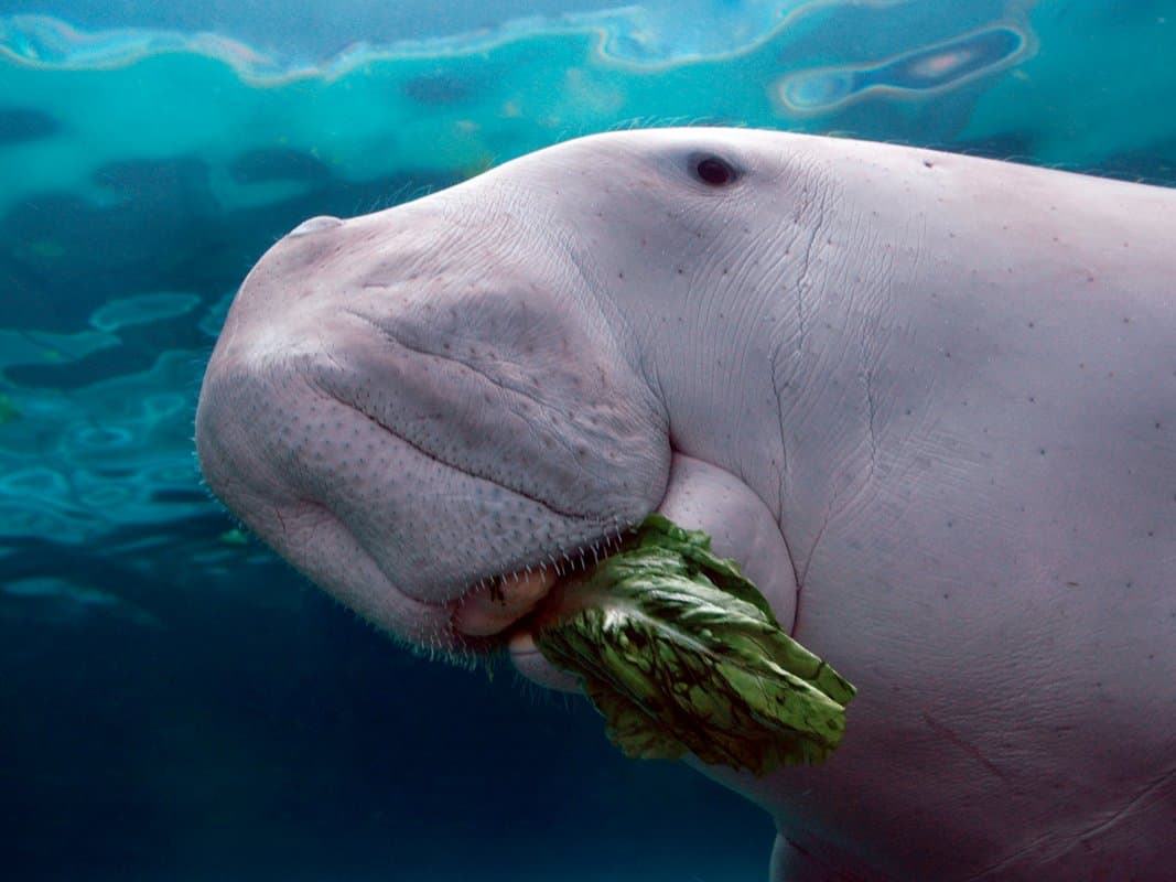 what is a dugong